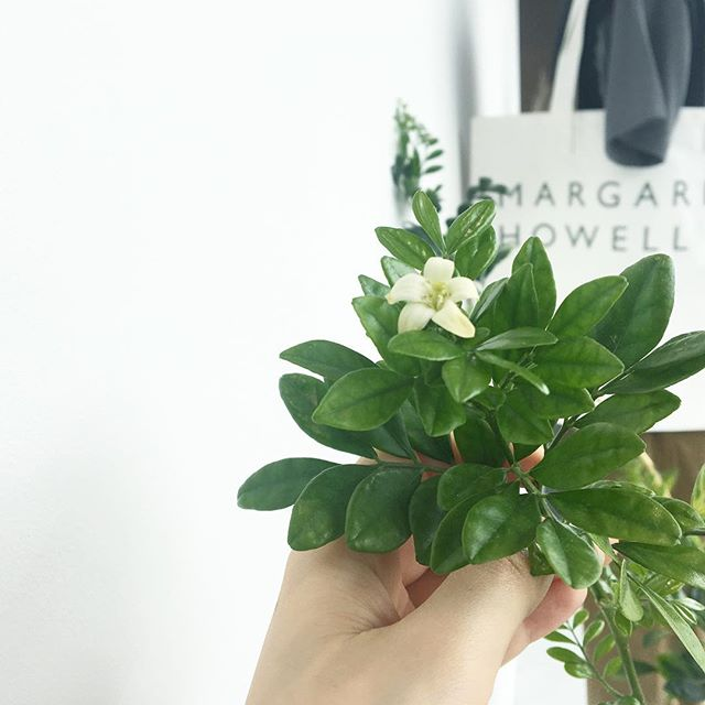 .わ!いつのまに蕾がついてたのだろう?初めて咲いたウィンドウのシルクジャスミン.ちいさな花1つだけでもちゃんとジャスミンの香り。.今週末は暑くなる山陰。涼しい店内にて新作もりだくさんでお待ちしております︎.#hausmatsue #島根 #松江 #silkjasmine#jasmine#シルクジャスミン#シルクジャスミンの花#観葉植物#植物#green #1日のはじまり